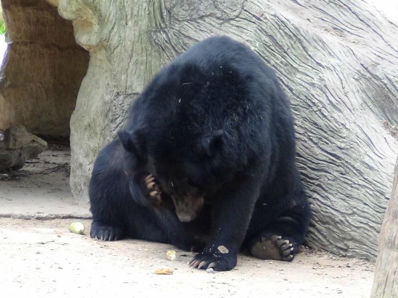 Черный гималайский медведь