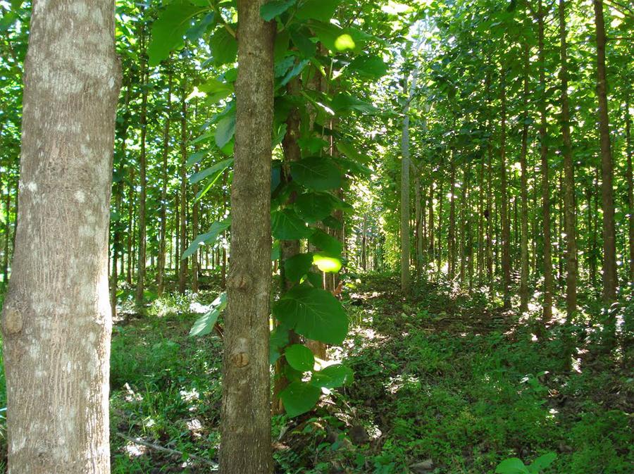 Тиковые деревья