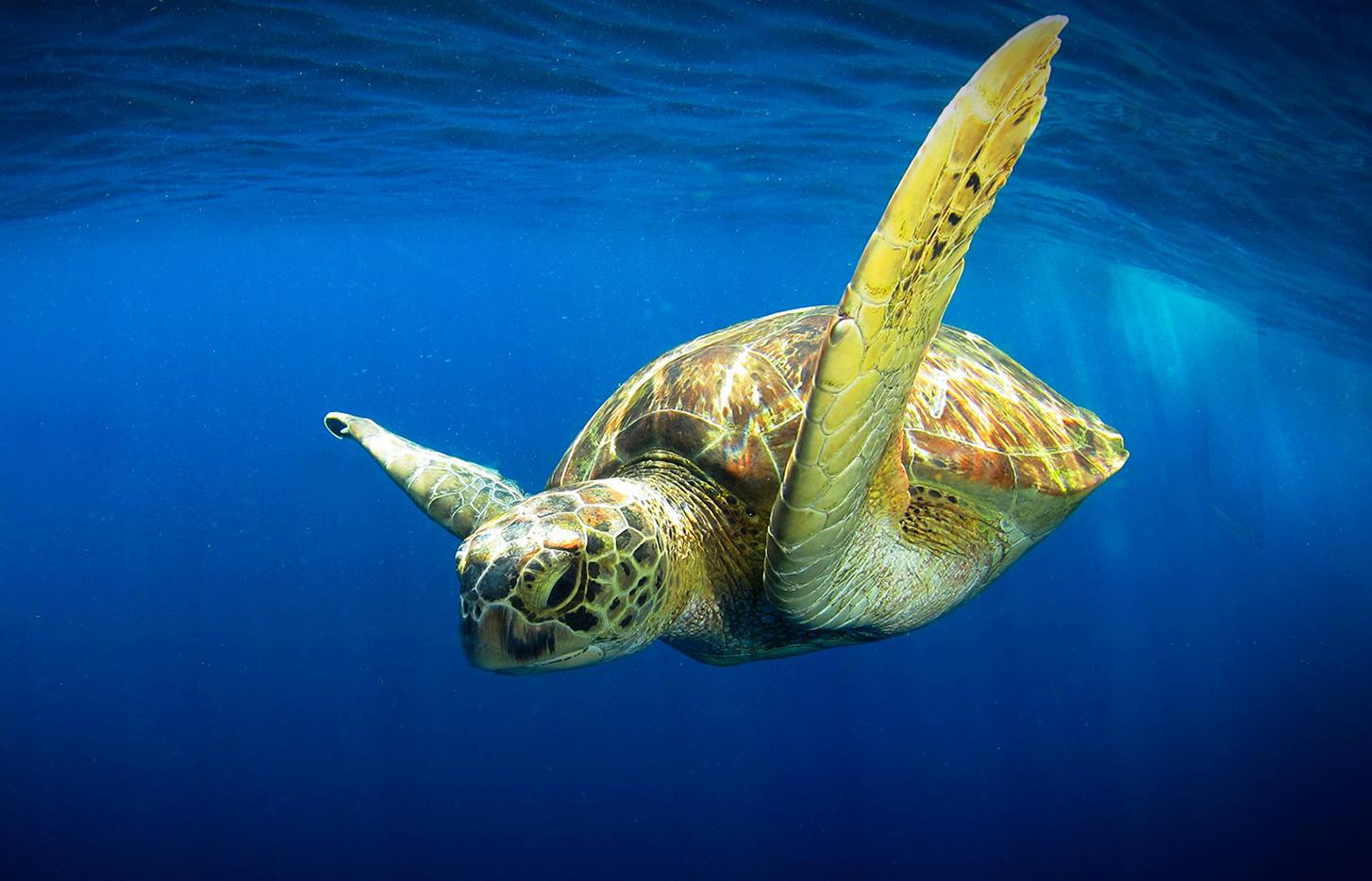 Симиланские черепахи